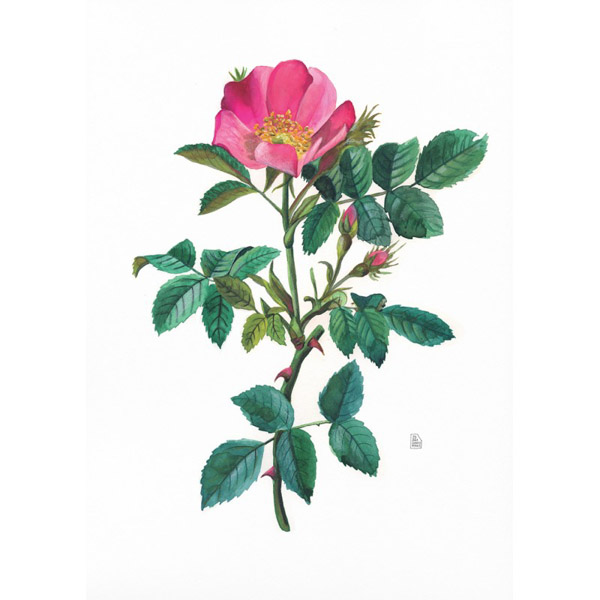 Lámina Rosa Canina